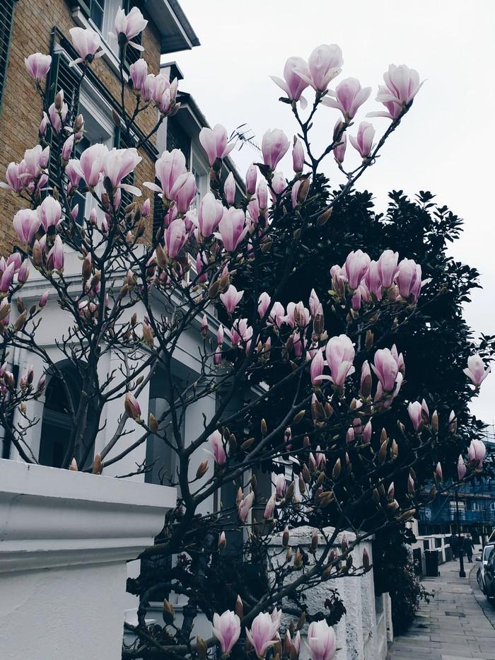 Camden-Magnolien