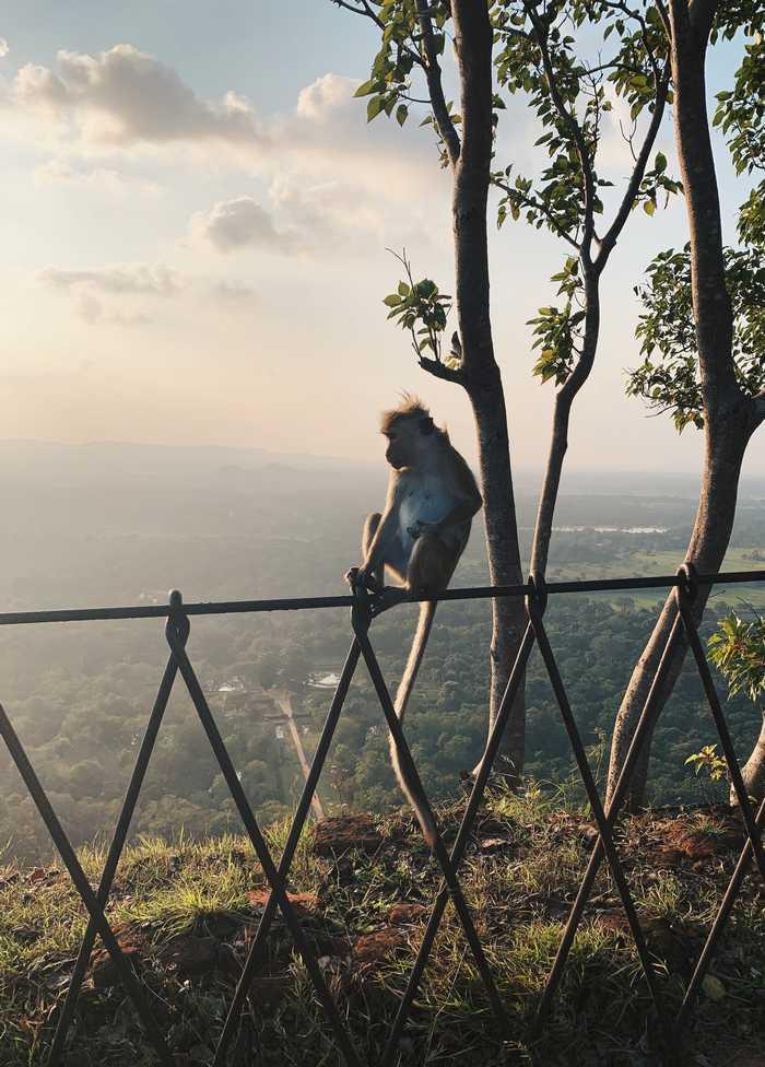 Ausblick-Affe-Lion-Rock-Sri-Lanka